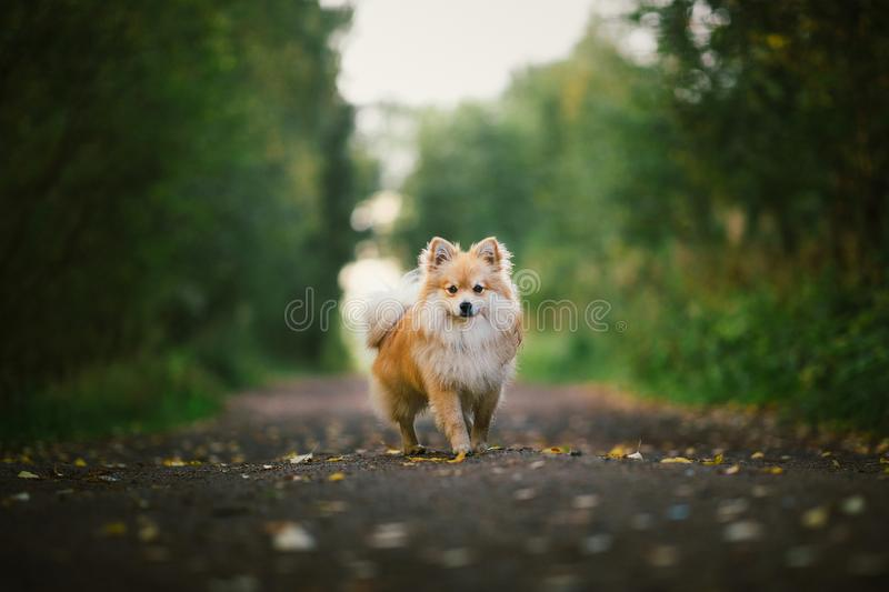 Beautiful pomeranian spitz orange color. Nice friendly dog pet on country road in the park in the autumn season. Portrait of a beautiful pomeranian spitz orange royalty free stock images