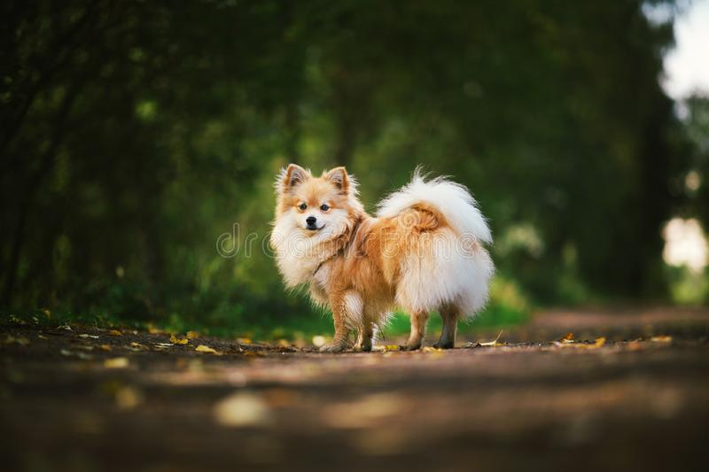 Beautiful pomeranian spitz orange color. Nice friendly dog pet on country road in the park in the autumn season. Portrait of a beautiful pomeranian spitz orange stock images