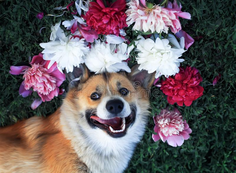 beautiful puppy of a corgi dog lies on a green meadow surrounded by lush grass and flowers of pink fragrant peonies royalty free stock image