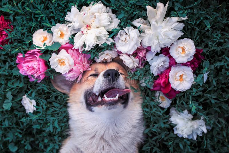 Portrait of a beautiful puppy of a corgi dog lies on a green meadow surrounded by lush grass and flowers of pink fragrant peonies. Portrait of a beautiful puppy stock image
