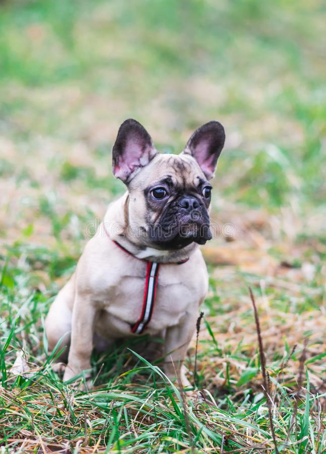 Portrait of Beautiful Puppy French Bulldog Little Dog Sitting Park Autumn stock images
