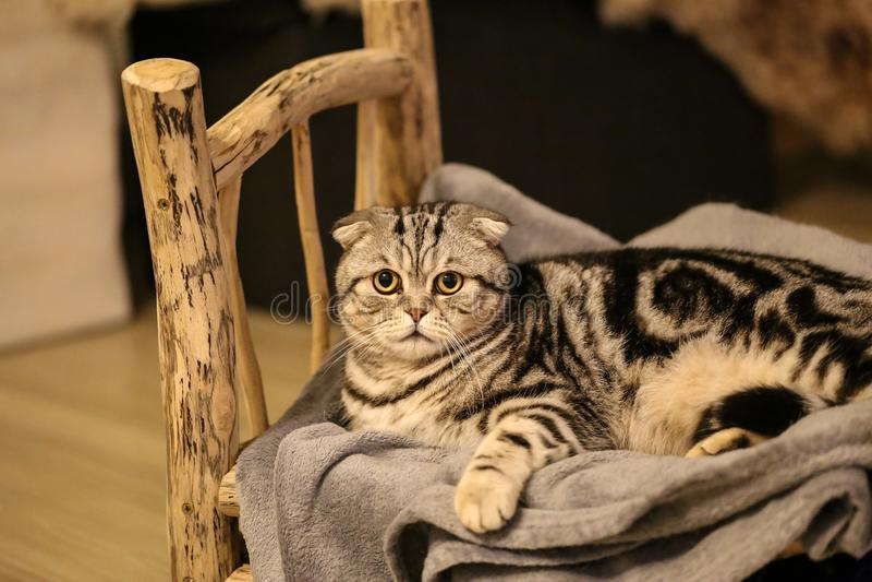 Portrait of a beautiful purebred housecat. / British Shorthair kitten royalty free stock photo