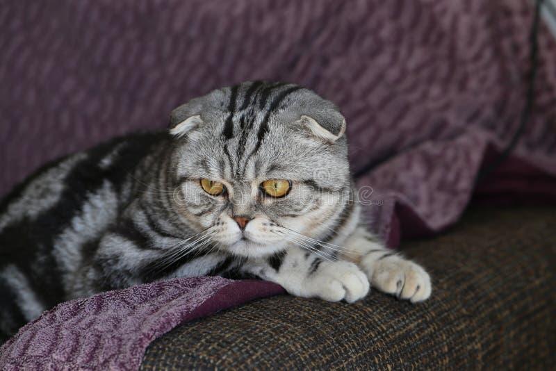 Portrait of a beautiful purebred housecat. / British Shorthair kitten royalty free stock photos