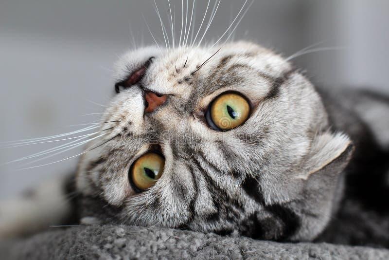 Portrait of a beautiful purebred housecat. British Shorthair kitten.  stock photography