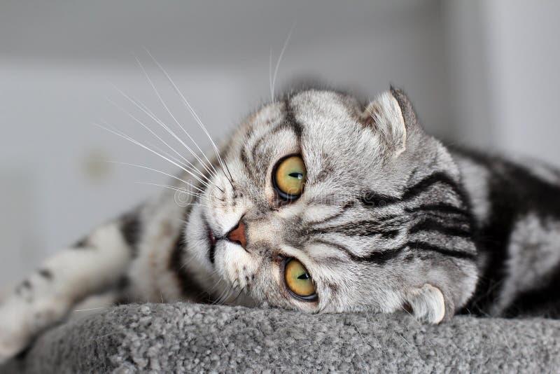 Portrait of a beautiful purebred housecat. British Shorthair kitten.  royalty free stock image