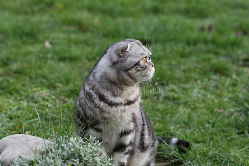 Portrait of a beautiful purebred housecat. British Shorthair kitten.  stock images