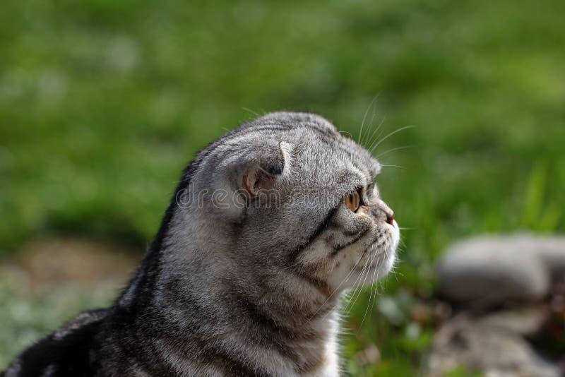 Portrait of a beautiful purebred housecat. British Shorthair kitten.  royalty free stock photos