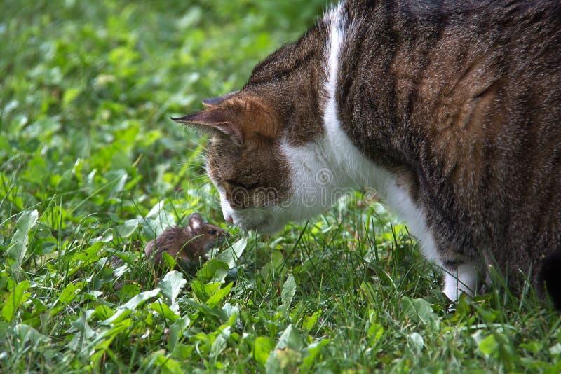 Portrait of a beautiful purebred housecat. Pets / Portrait of a beautiful purebred housecat royalty free stock photography