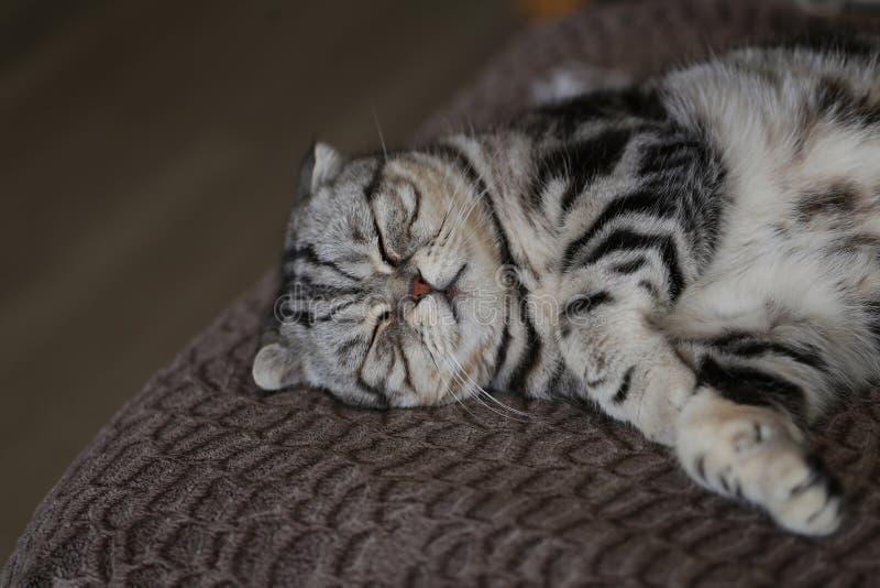 Portrait of a beautiful purebred housecat. / British Shorthair kitten stock image