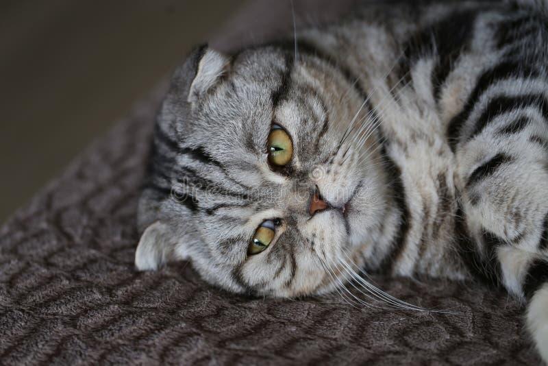 Portrait of a beautiful purebred housecat. / British Shorthair kitten stock photo
