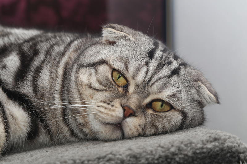 Portrait of a beautiful purebred housecat. / British Shorthair kitten royalty free stock photography