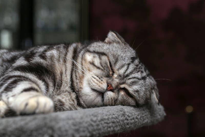 Portrait of a beautiful purebred housecat. / British Shorthair kitten stock photos