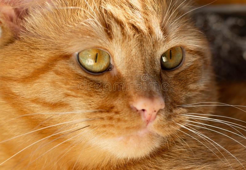 Portrait of beautiful metis red cat in the home. Portrait of beautiful red cat green eyes stock photos