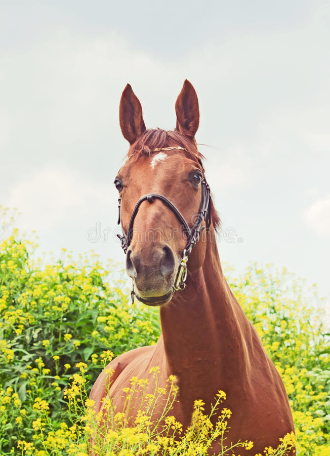Portrait Of Beautiful Red Horse Stock Photo