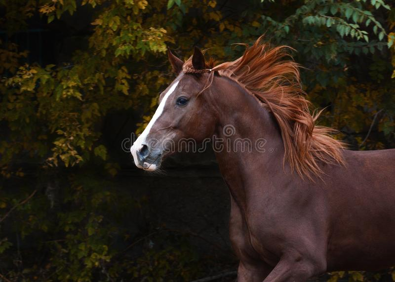 Portrait of a beautiful red horse on freedom autumn stock image
