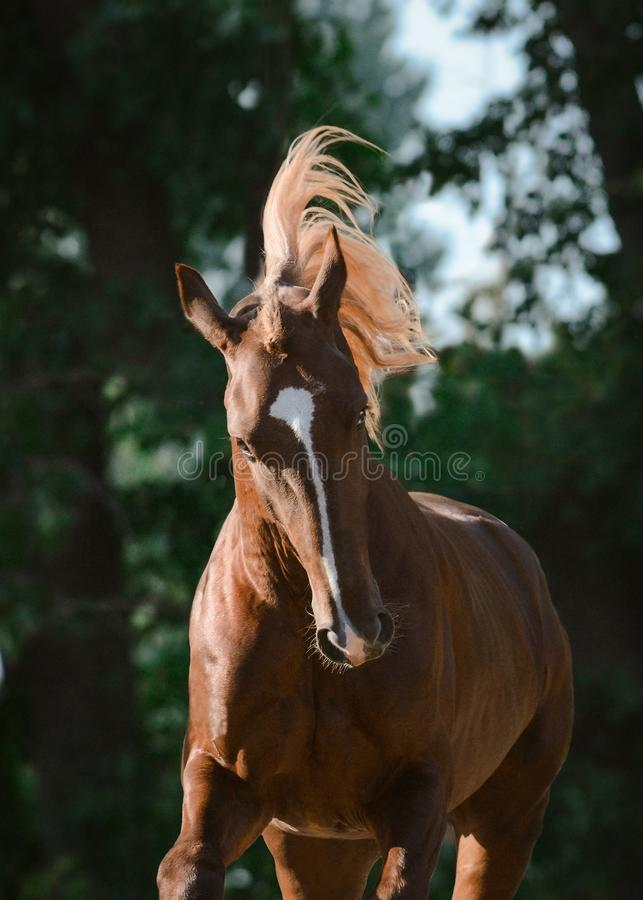 Portrait of a beautiful red horse on freedom in motion. Summer royalty free stock photos