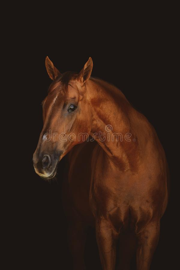 Beautiful red mare horse isolated on dark background. Portrait of beautiful red mare horse isolated on dark background stock image
