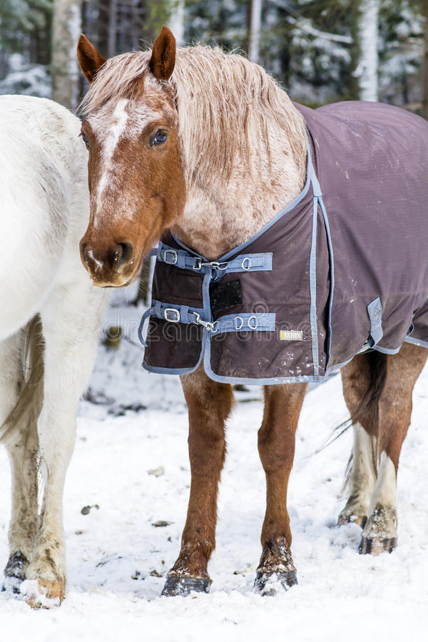 dressed red horse in the winter royalty free stock images