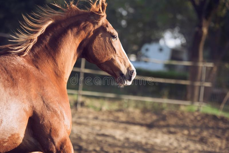 Portrait of beautiful  running  chestnut Marwari mare in paddock. India. close up.  stock images