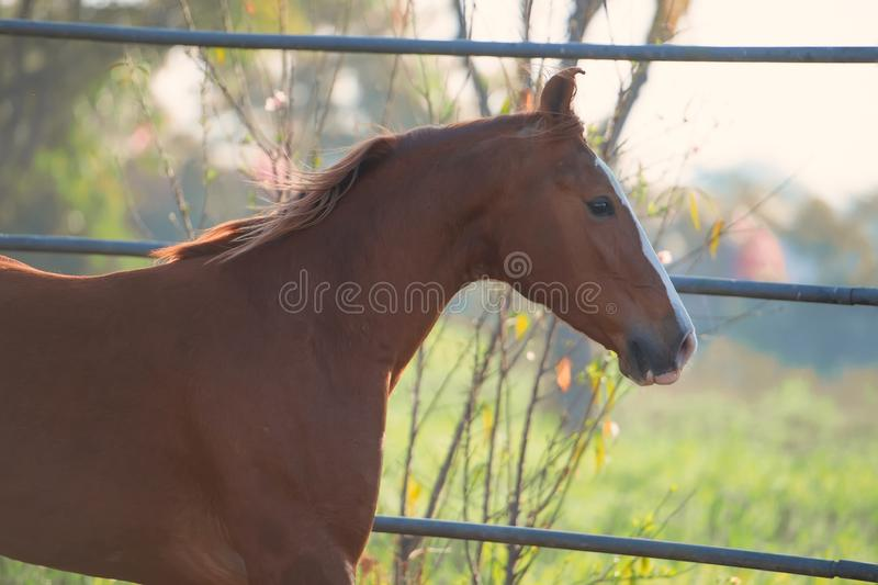 Portrait of beautiful  running  chestnut Marwari mare in paddock. India. close up.  stock photography