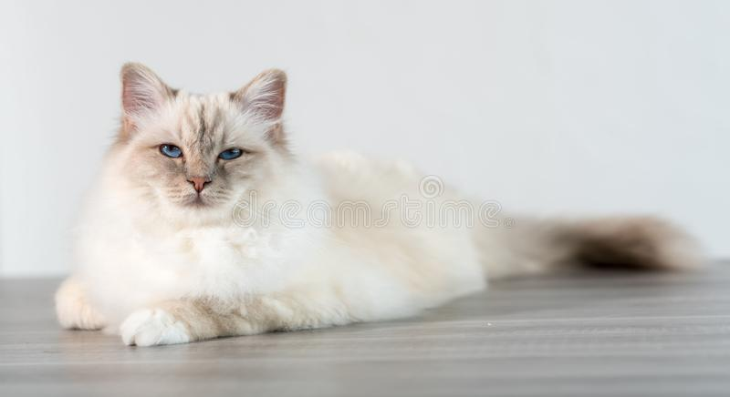Portrait of beautiful sacred cat of burma. With blue eyes stock photos
