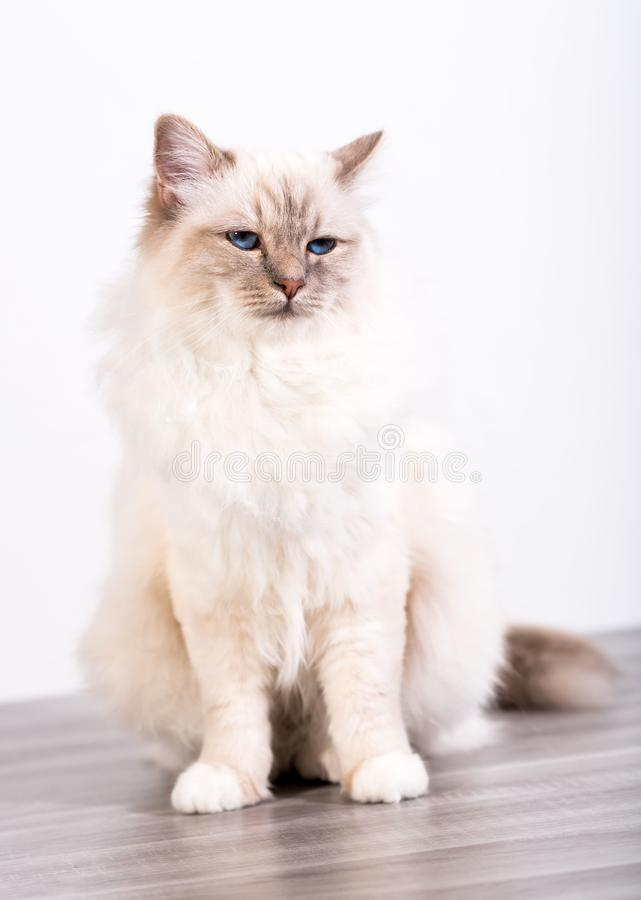 Portrait of beautiful sacred cat of burma. With blue eyes royalty free stock image