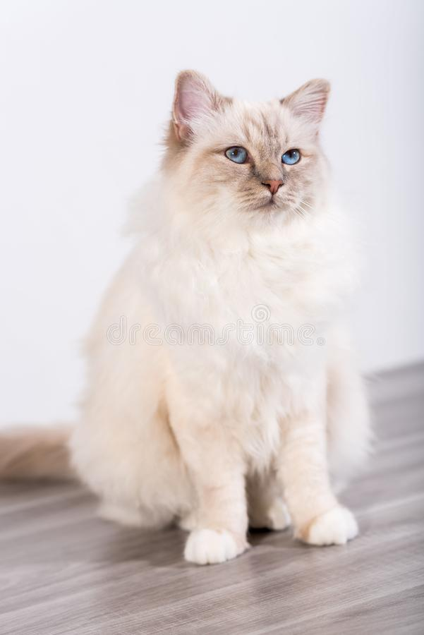 Portrait of beautiful sacred cat of burma. With blue eyes royalty free stock images