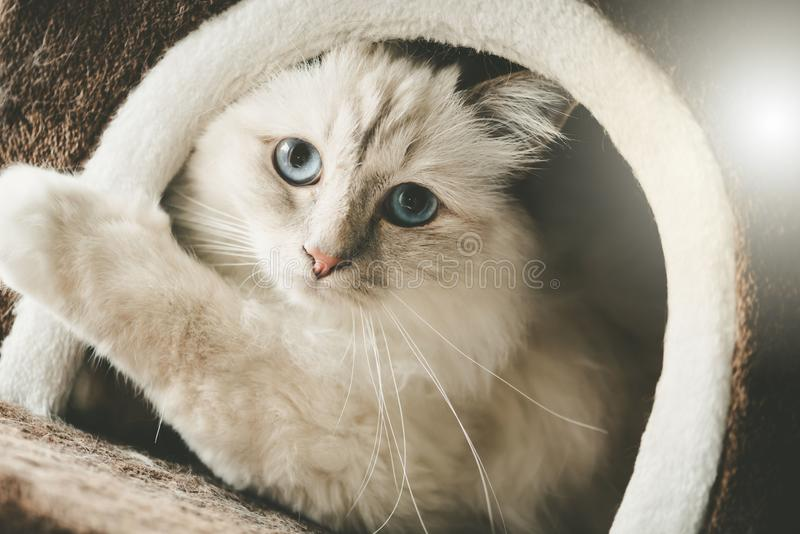 Portrait of beautiful sacred cat of burma. With blue eyes in a cat house stock photo
