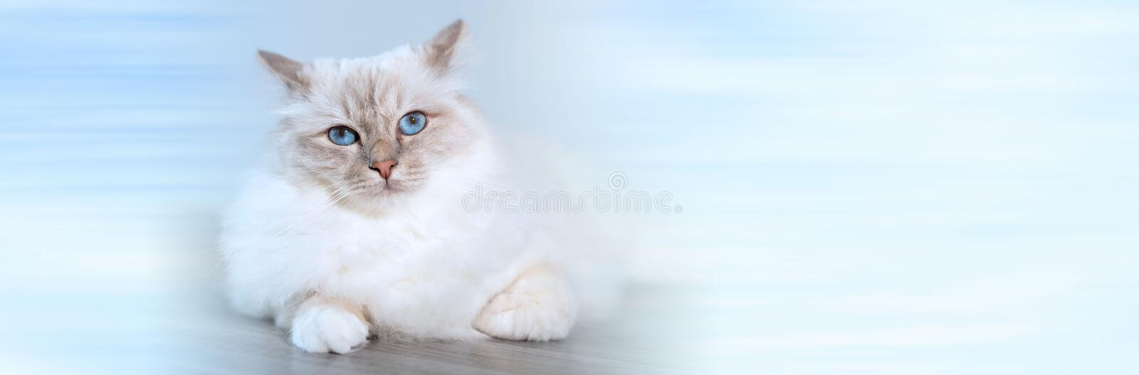 Portrait of beautiful sacred cat of burma. panoramic banner. Portrait of beautiful sacred cat of burma with blue eyes. panoramic banner stock photos
