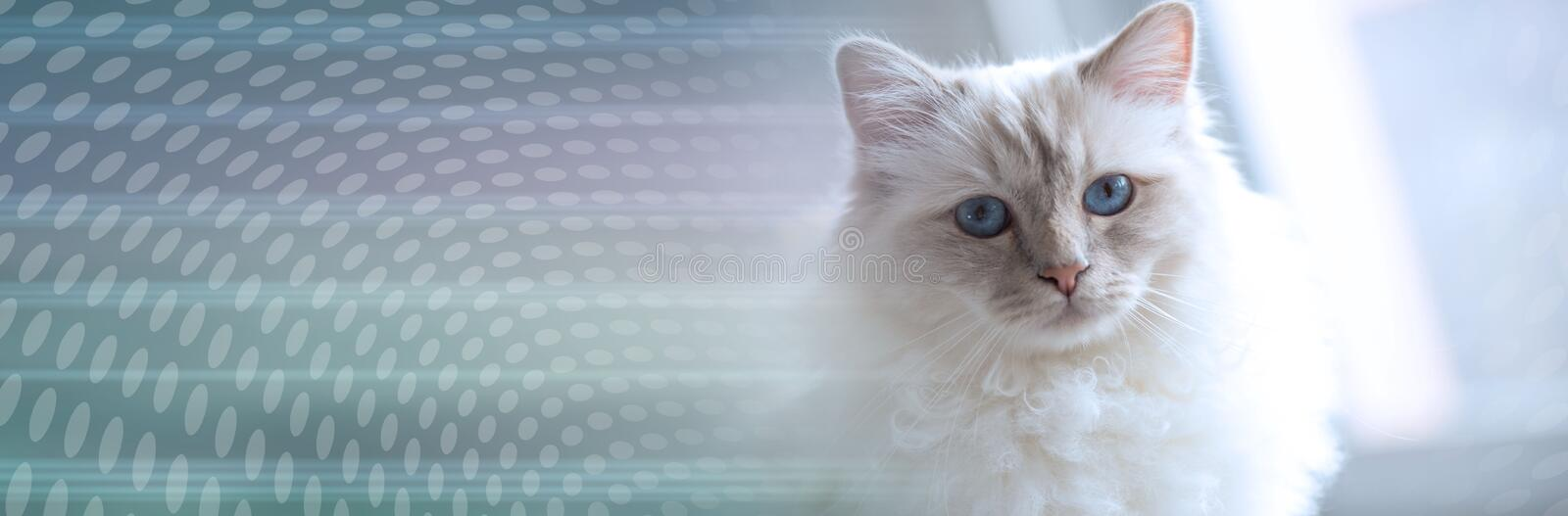 Portrait of beautiful sacred cat of burma; panoramic banner. Portrait of beautiful sacred cat of burma with blue eyes; panoramic banner royalty free stock photos