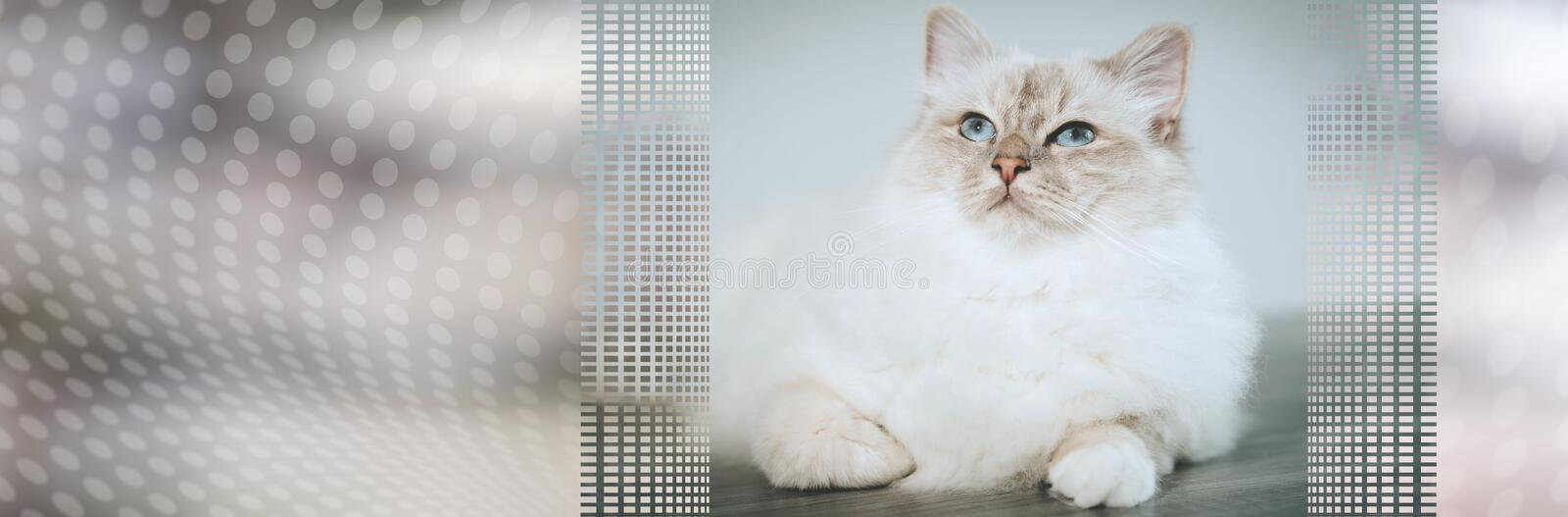 Portrait of beautiful sacred cat of burma. panoramic banner. Portrait of beautiful sacred cat of burma with blue eyes. panoramic banner stock image