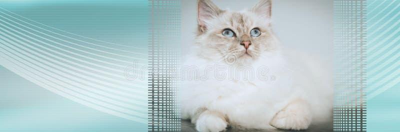 Portrait of beautiful sacred cat of burma. panoramic banner. Portrait of beautiful sacred cat of burma with blue eyes. panoramic banner royalty free stock photo