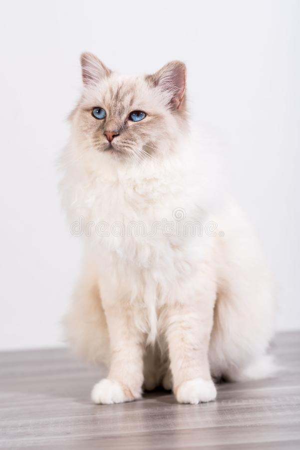 Portrait of beautiful sacred cat of burma. With blue eyes royalty free stock photos