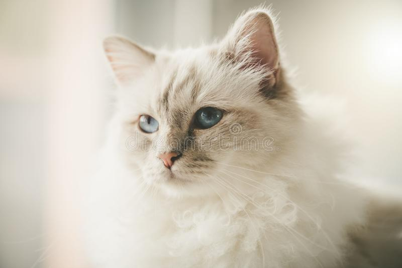 Portrait of beautiful sacred cat of burma. With blue eyes stock photo