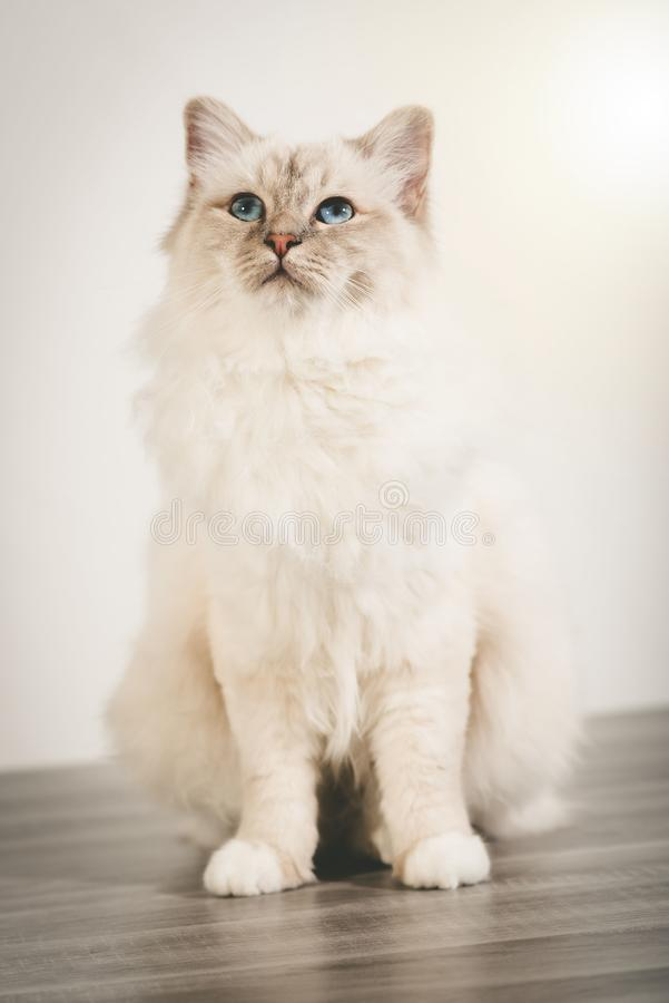Portrait of beautiful sacred cat of burma. With blue eyes royalty free stock photography