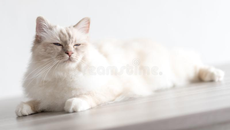 Portrait of beautiful sacred cat of burma. Lying on a table royalty free stock images