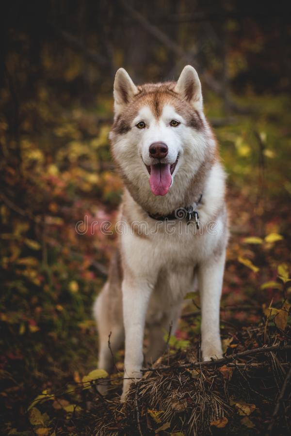 Portrait of beautiful Siberian Husky dog standing on the tree in the bright mysterious fall forest. Portrait of gorgeous Siberian Husky dog standing on the tree stock photography