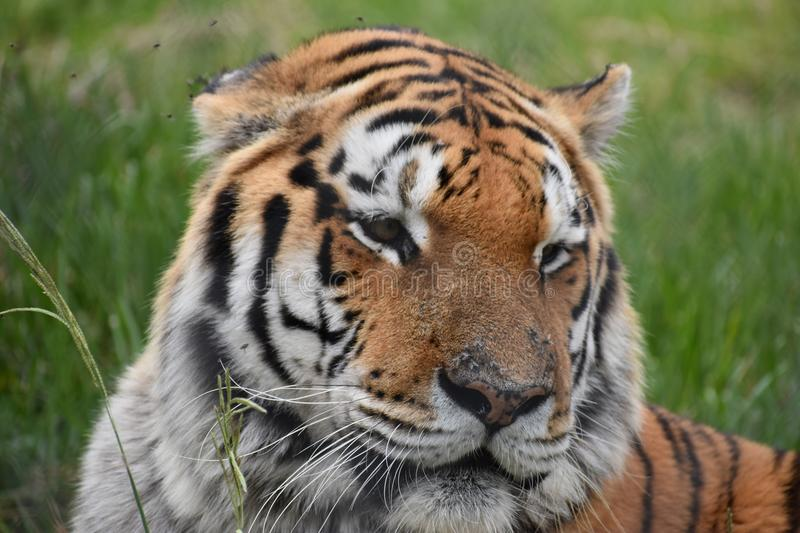 Portrait of a beautiful Sibirian Tiger in South Africa. Portrait of a beautiful orange striped Sibirian Tiger in South Africa stock photos