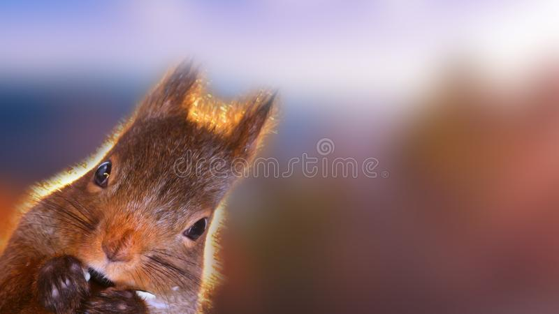 Portrait of beautiful squirrel closeup. Squirrel carefully looking at something. stock photo
