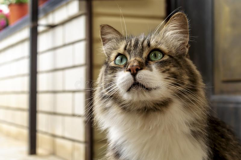 Portrait of a beautiful three-colored cat with green eyes and long fur watching you and waiting for caress. Close up royalty free stock image