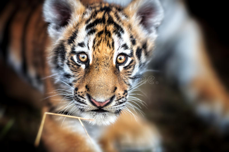 Portrait of a Beautiful Tiger cub. Tiger playing around. & x28;Panthera tigris& x29 royalty free stock image