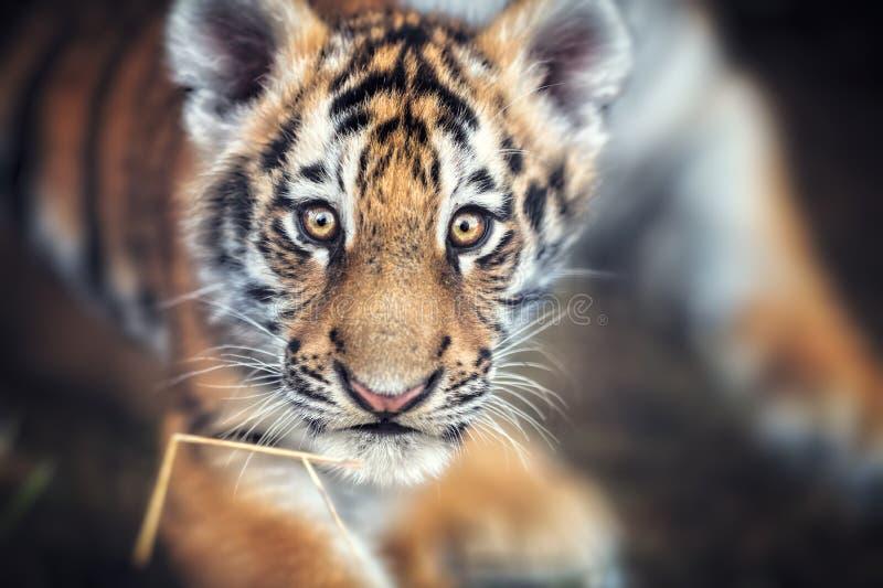 Portrait of a Beautiful Tiger cub. Tiger playing around. Panthera tigris royalty free stock photos