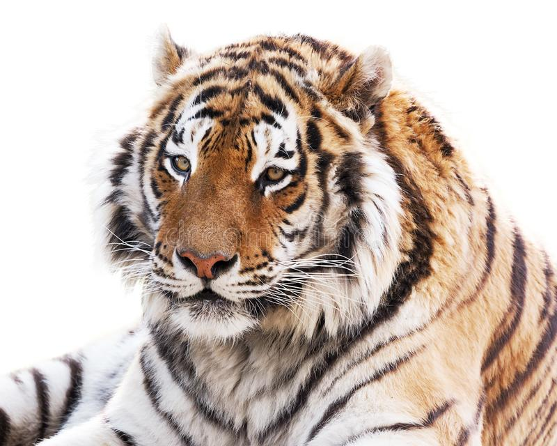 Coy tiger. Portrait of beautiful tiger isolated on white background royalty free stock photography