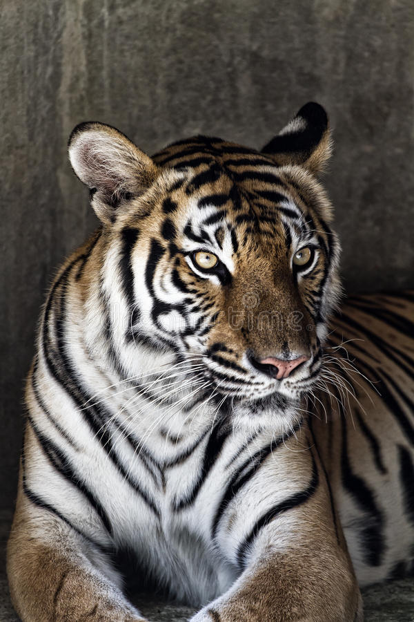 Portrait Of A Beautiful Tiger Stock Photo