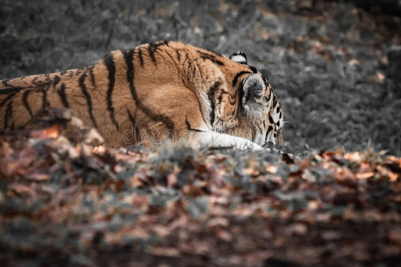 Portrait of beautiful tiger taking sun. Portrait of beautiful tiger in the sunlight sleeping stock photo