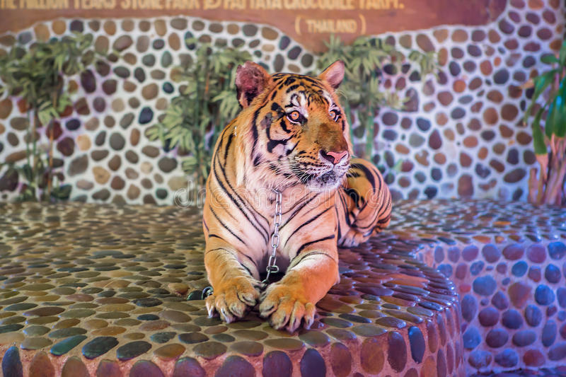 Portrait of a beautiful tiger. Thailand Asia royalty free stock photo