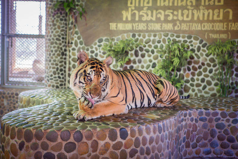 Portrait of a beautiful tiger. Thailand Asia stock photos