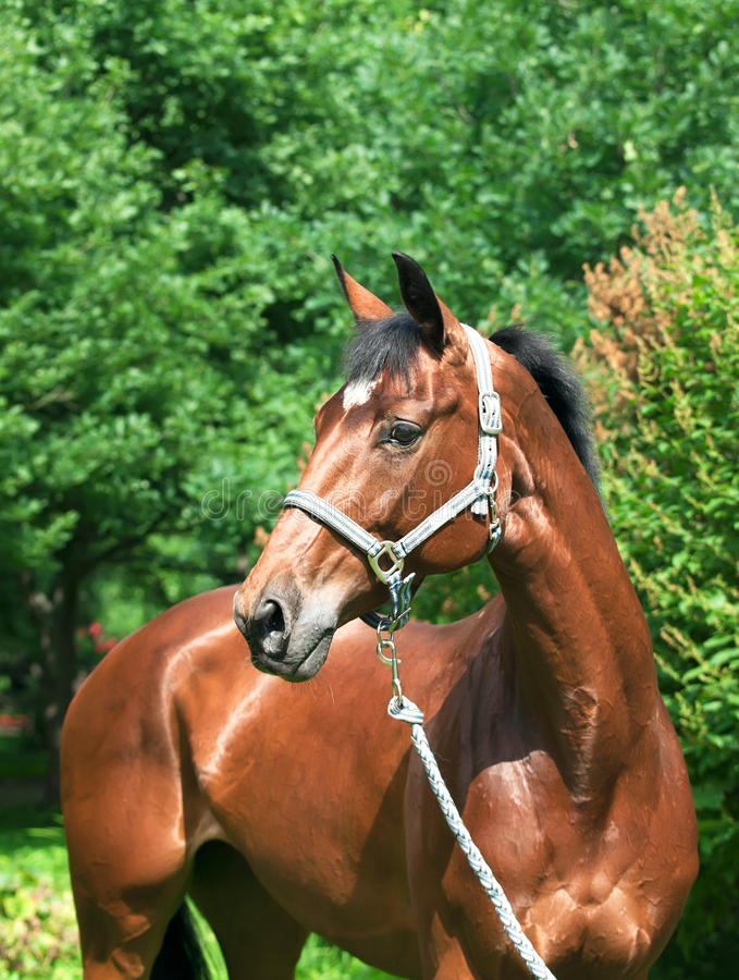 Portrait of beautiful trakehner mare stock photography