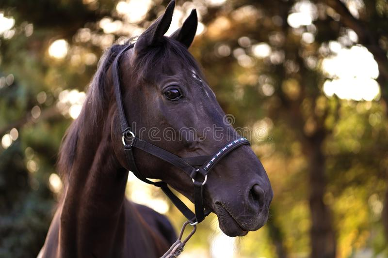 Portrait of a beautiful well-groomed dark horse on the field royalty free stock images