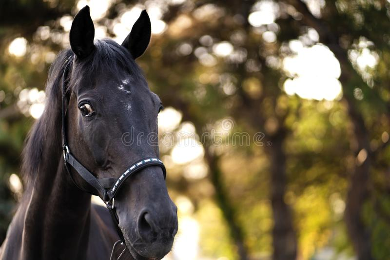 Portrait of a beautiful well-groomed dark horse on the field royalty free stock photo